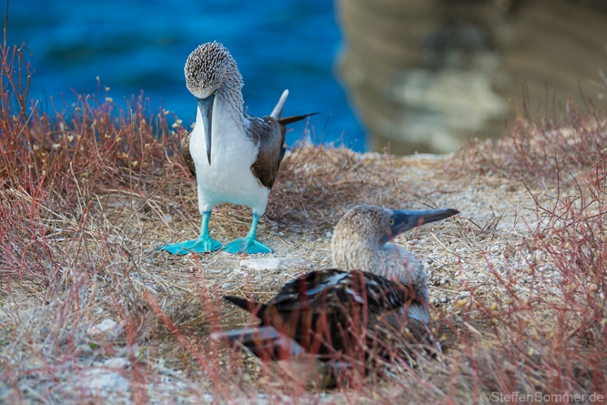 blue_footed_booby_2
