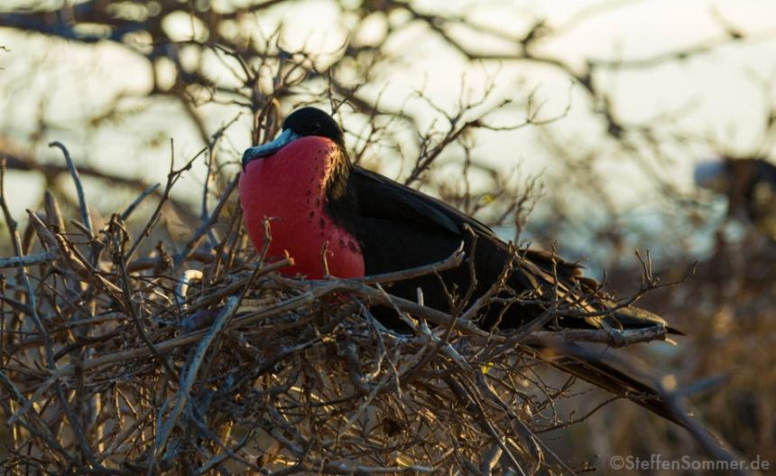 frigatebird_galapagos