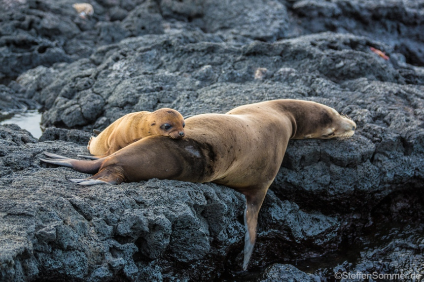 fur_seal_mother_pup