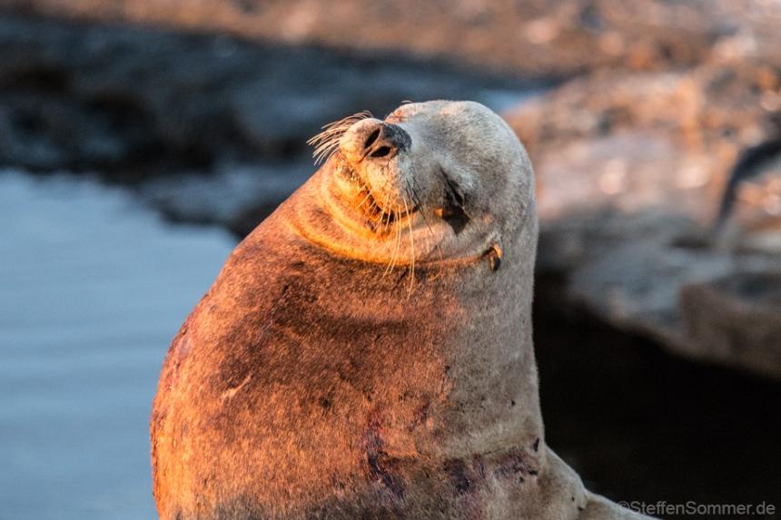 fur_seal_smiling