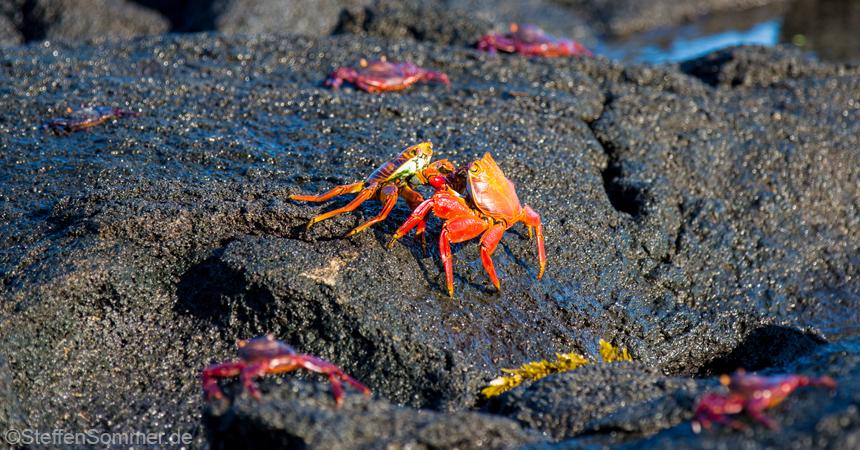 gladiator_crabs