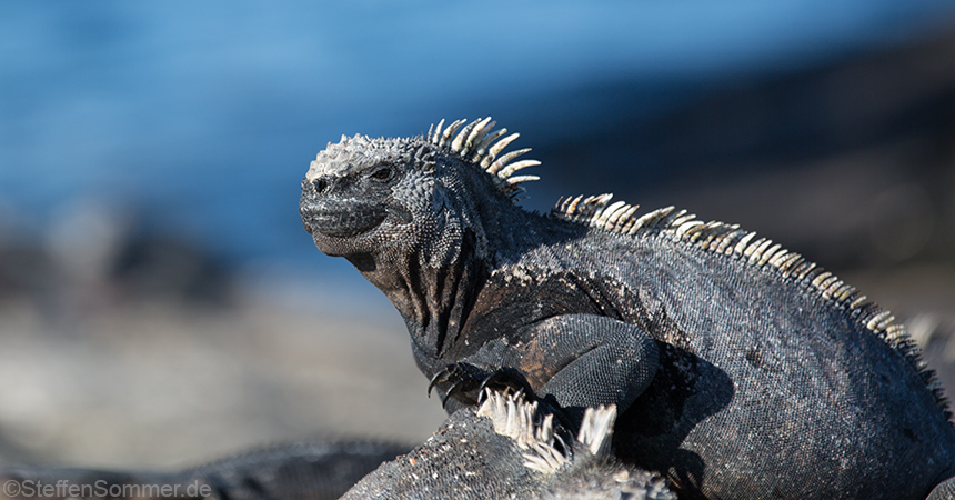 marine_iguana_watching