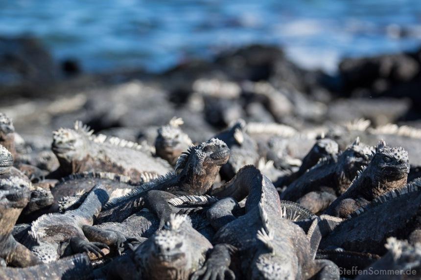 Marine Iguanas (Amblyrhynchus cristatus) sunbathing.