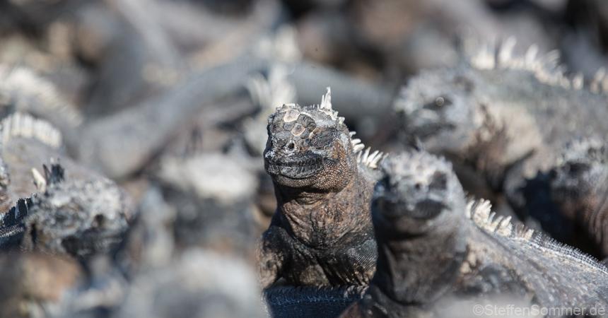 marine_iguanas_sunbathing