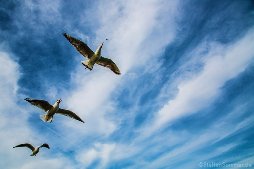 seagulls_sky_clouds_hunting