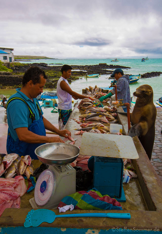 sealion_fishmonger_galapagos