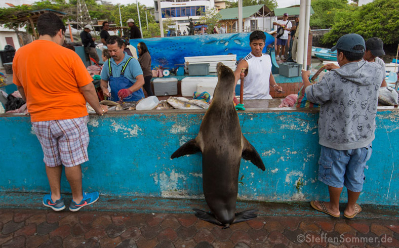 sealion_fishmonger_galapagos_buying