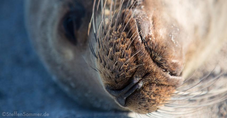sealion_nose_TN