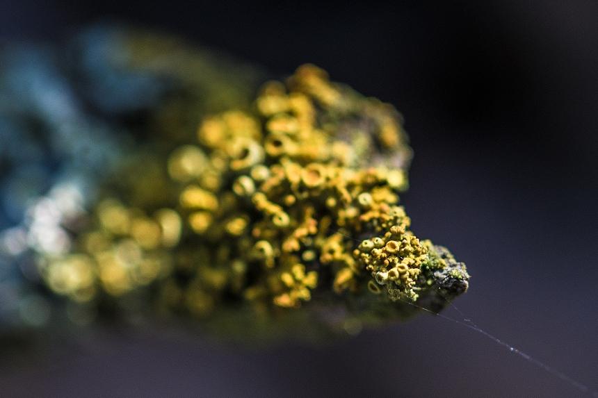 Macro of Golden shield lichen (Xanthoria parietina).